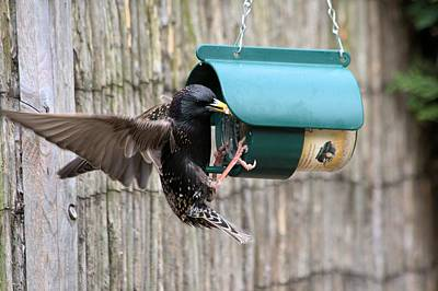 Starling On Bird Feeder Art Print by Gordon Auld
