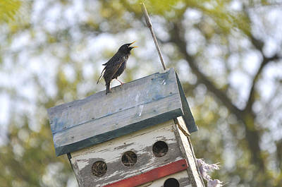Common Myna Photograph - Starling On Birdhouse Condo by Roy Williams
