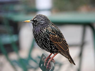 Photograph - Starling by Richard Reeve