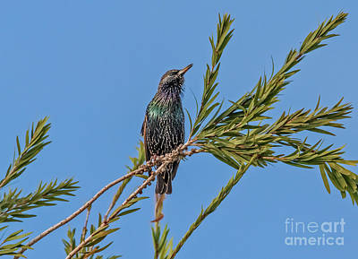Photograph - Starling by Robert Bales