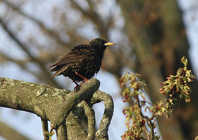 Photograph - Starling by Tiffany Erdman