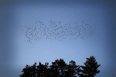 Photograph - Starlings And Pines by John Meader