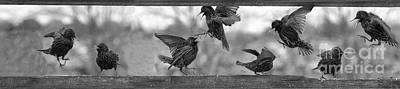 Photograph - Starlings Fighting      Another Political Image by Dan Friend