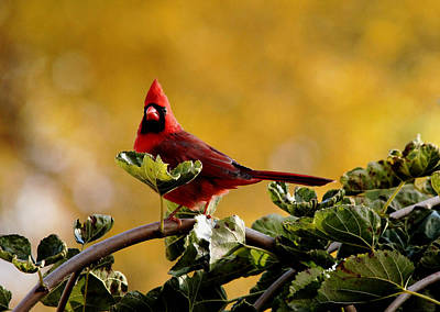 Photograph - Startled Red Cardinal by Debbie Oppermann