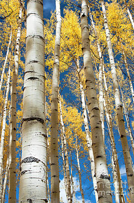 Photograph - Stately Aspens by The Forests Edge Photography - Diane Sandoval