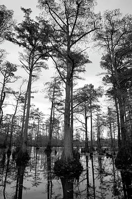 Photograph - Stately - Cypress Trees by Jane Eleanor Nicholas