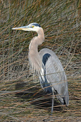 Photograph - Stately Great Blue Heron  by Carla Parris