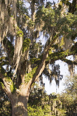 Photograph - Stately Moss Draped Live Oak by MM Anderson
