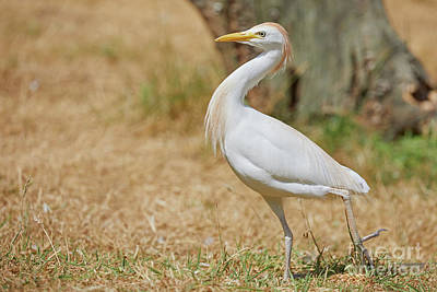Photograph - Stately Walking Cattle Egret by Nick Biemans