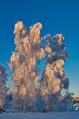 Photograph - Stately Winter Birches by Cathy Mahnke