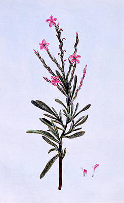 Pink Flower Drawing - Statice, Phyllostachys Spicata by Pierre-Joseph Buchoz