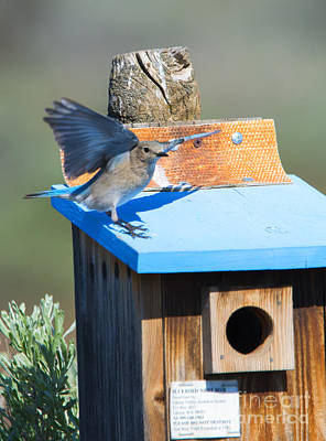 Bluebird Photograph - Stay Away by Mike Dawson