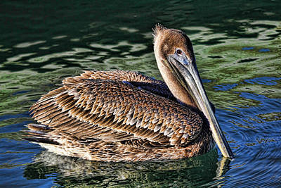 Photograph - Staying Afloat - Brown Pelican Swimming by HH Photography of Florida