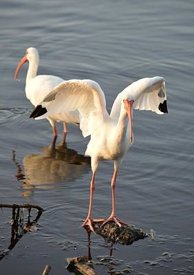Photograph - Steady There - White Ibis by rd Erickson