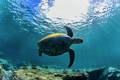 Photograph - Turtle Turn by Sean Davey