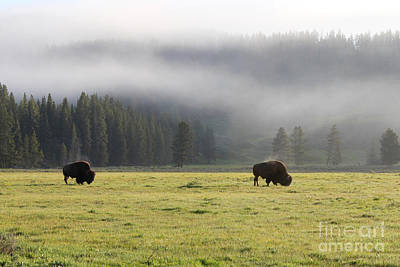 Steam On Bison In Yellowstone National Park Usa At Sun Art Print by Adam Long