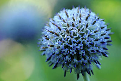 Photograph - Steel Blue Giant Globe Thistle by Debbie Oppermann