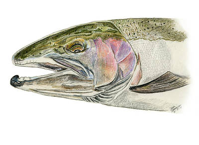Drawing - Steelhead Head by Sara Stevenson