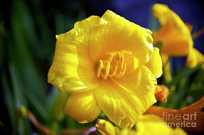 Photograph - Stella D Oro Lily by Elaine Mikkelstrup