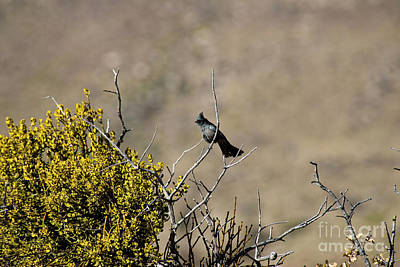 Photograph - Stellar Jay by David Arment