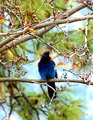 Photograph - Stellar Jay Majesty by Will Borden