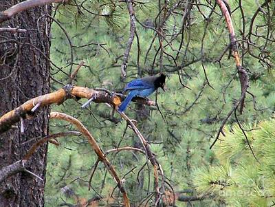 Photograph - Stellar Jay by Pamela Walrath