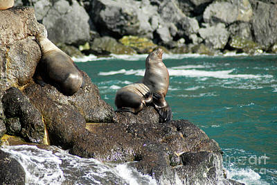 Photograph - Stellar Sea Lions by Denise Bruchman