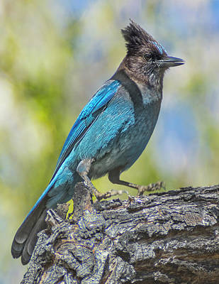 Photograph - Stellar's Jay 1 by Rick Mosher