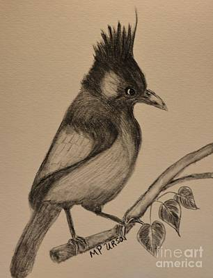 Drawing -  Stellar's Jay - Charcoal by Maria Urso