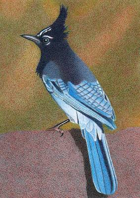 Gradient Drawing - Stellar's Jay Summer by Dan Miller