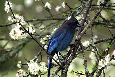 Photograph - Stellars Jay In Dragonfly Forest #6 by Ben Upham III