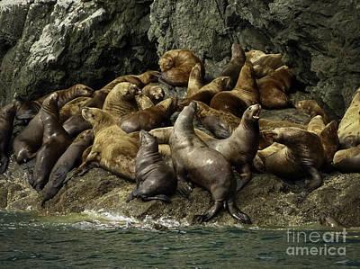 Alaskan Steller Sea Lions #4 Art Print by Teresa A and Preston S Cole Photography