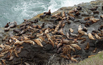 Photograph - Steller Sea Lions by Jim Zablotny