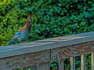 Photograph - Steller's Jay by Alana Thrower