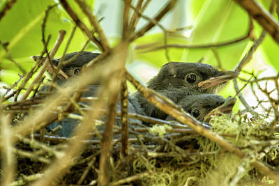 Photograph - Steller's Jay Babies by Belinda Greb