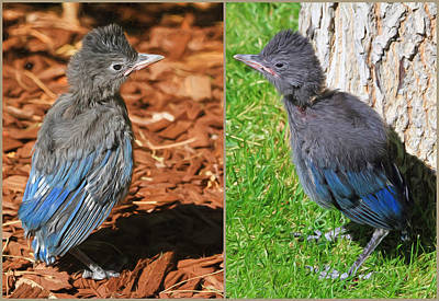 Baby Bird Photograph - Stellers Jay Fledglings by Donna Kennedy
