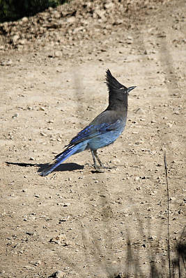 Photograph - Stellers Jay In Bryce Canyon by Jemmy Archer