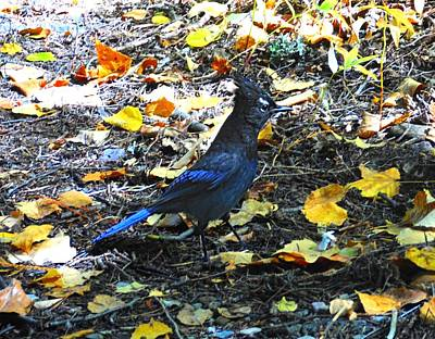 Photograph - Steller's Jay by Joe Duket
