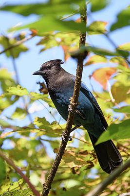 Photograph - Steller's Jay by Keith Boone