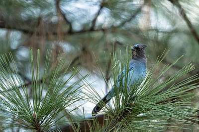 Photograph - Steller's Jay, No. 1 by Belinda Greb