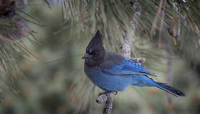 Photograph - Steller's Jay by Tyson Smith