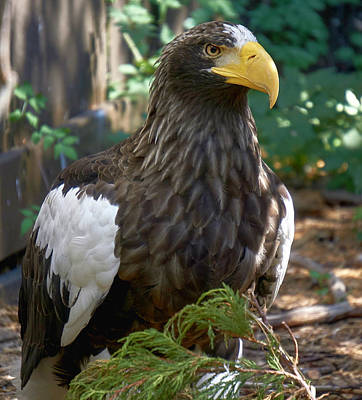 Eagle Photograph - Steller's Sea Eagle by Charles Muziani