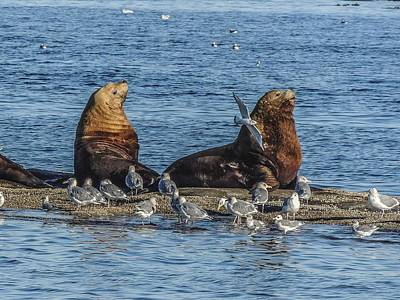 Photograph - Steller's Sea Lions And Gulls by NaturesPix