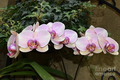 Photograph - Branch Of Lavender Orchids by Jeannie Rhode
