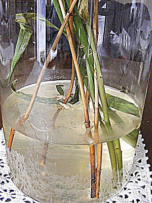 Photograph - Stems And Water by Nancy Kane Chapman
