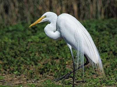 Great Egret Photograph - Step Lightly by Loree Johnson