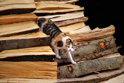 Photograph - Stepping Down - Calico Cat On Beech Woodpile by Menega Sabidussi