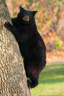 Black Bear Photograph - Stepping Down by Mike Dawson