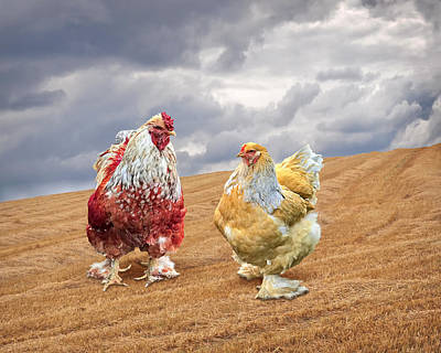 Photograph - Stepping Out - Red Rooster by Gill Billington