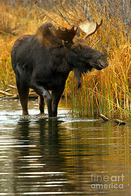 Moose In Water Photograph - Stepping Through The March by Adam Jewell